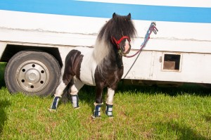 Miniature Shetland wearing custom travel boots